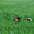 #Chomiąża #NaWsi #psy #zwierzęta