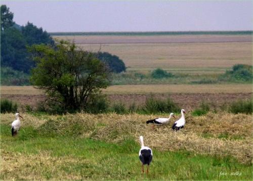 boćki ... tym razem spotkane gdzieś po drodze między jedną, a drugą podróżą ... :) #bociany #lato #łąki #pola #przyroda #ptaki
