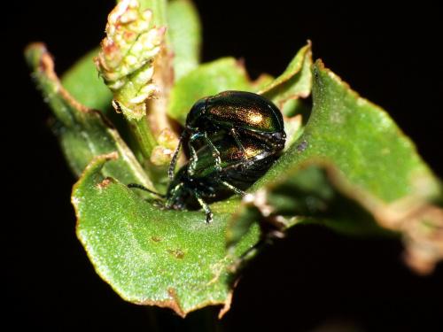 Gastrophysa viridula - Kałdunica zielona #makro #GastrophysaViridula #KałdunicaZielona