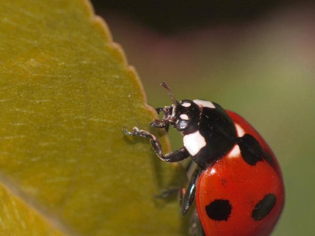 Biedronka siedmiokropka - Coccinella septempunctata #makro #biedronka
