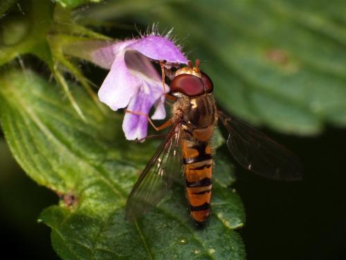Bzyg prążkowany - Episyrphus balteatus #makro #EpisyrphusBalteatus #BzygPrążkowany