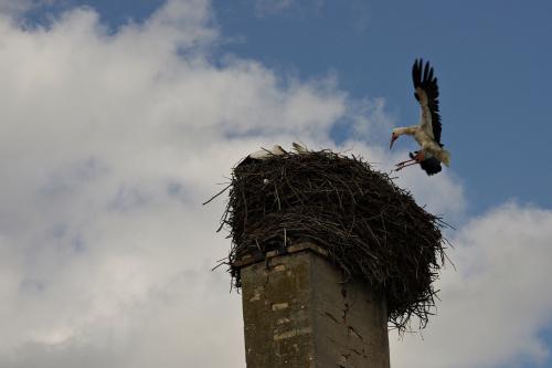 IO znikło; boćki mają się dobrze, trenują, a tu właśnie świeża dostawa jadła :) #bociany #gniazdo #ptaki