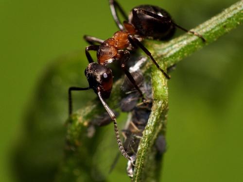 Mrówka łąkowa - Formica pratensis #makro #zwierzęta #MrówkaŁąkowa #FormicaPratensis