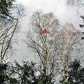 Lądowanie na brzozie-2 #ModelLatający #brzoza #drzewo