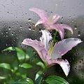 Lilie i deszcz... #deszcz