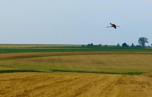 bociek w białych podkolanówkach ... :)) #bociany #ptaki #WLocie #WPolu