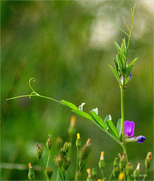 Małe radości i drobne gesty życzliwości, #chwasty #kwiaty #lato #łąki #pola #zboże