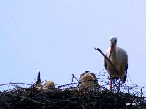 mama naprawia gniazdo, a mały przyjął pozycję horyzontalną ... :)) *** (wiem, wiem, zdjęcie jest byle jakie, ale bardzo podoba mi się ta scenka) ... :)) #bociany #Chomiąża #lato #NaWsi #ptaki
