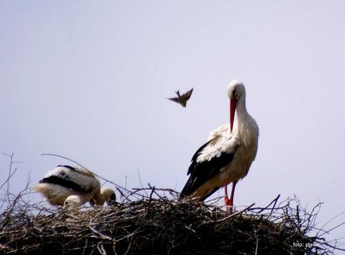 #bociany #Chomiąża #lato #NaWsi #ptaki