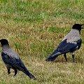 im też jest gorąco ... #lato #NaŁące #ptaki #upał #WronySiwe