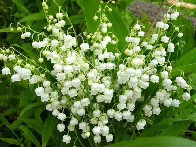Konwalie Najpopularniejsze Kwiaty Polski