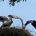 01.08.2012. - jeszcze z gniazda nie wylatują #bociany #Chomiąża #ptaki