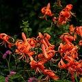 ... #kwiaty #lato #ogród #lilie