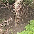 berberys #rośliny #sadzonki