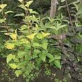 pęcherznica #rośliny #sadzonki