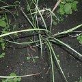 miskant #rośliny #sadzonki