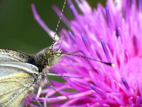 Motylek #makro #zwierzęta #motyl
