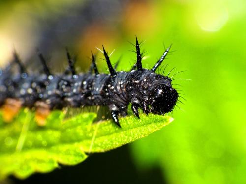 Larwa Rusałki Pawika (Inachis io) #makro #zwierzęta #larwa #RusałkaPawik #InachisIo