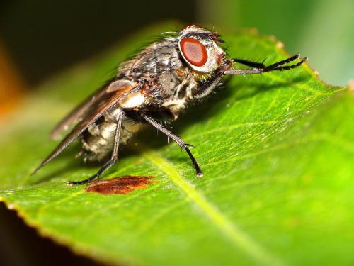 Muchówka #makro #zwierzęta #mucha #muchówka
