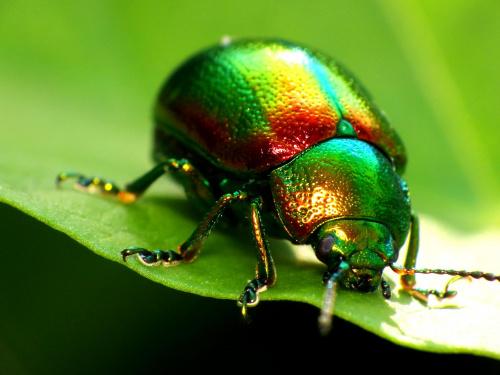 Kałdunica zielona, Gastrophysa viridula #makro #zwierzęta
