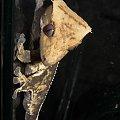 #RhacodactylusCiliatus #CrestedGecko #GekonOrzęsiony #Kronengecko #CorrelophusCiliatus #pinstripe #creme #back #solid