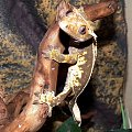 #back #CorrelophusCiliatus #creme #CrestedGecko #GekonOrzęsiony #Kronengecko #pinstripe #RhacodactylusCiliatus #solid