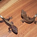 #CorrelophusCiliatus #CrestedGecko #GekonOrzęsiony #hatchling #Kronengecko #młody #RhacodactylusCiliatus #young