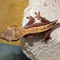 #RhacodactylusCiliatus #CrestedGecko #GekonOrzęsiony #Kronengecko #CorrelophusCiliatus #hatchling #young #młody