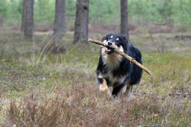 Volf, leśny wędrowiec