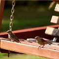 na huśtawce ... :)) #NaWsi #ptaki #wróble