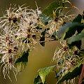 jesienne migawki ... #jesień #liście #nasionka #powojnik #ogród