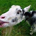 :)) ... **** ulub. amyw **** #kozy #zwierzęta #NaWsi #Chomiąża
