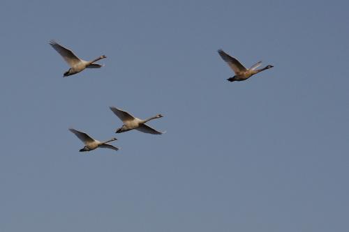 #łabędzie #ptaki