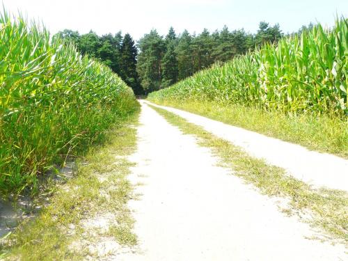 Kukurydziana aleja. #przyroda