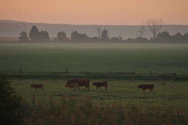 z nadodrzańskich łąk i pól #krowy #łąki #natura #pola #rano #zwierzęta