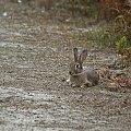 Benodet #Francja #Bratania #Benodet #królik