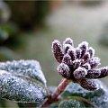 Pan Mróz zagościł do mojego ogródka ... :) #mróz #liście #pąki #przymrozek #jesień