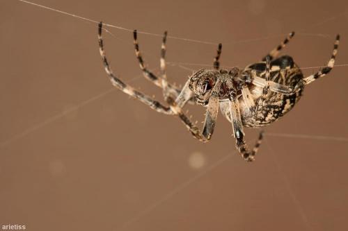 Grubasek... #arietiss #fauna #makro #natura #owady #pająk