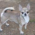 ARAMIS #Chihuahua