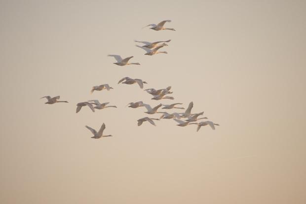 poranny lot na nadodrzańskie pola (na wyżerkę) #łabędzie #ptaki