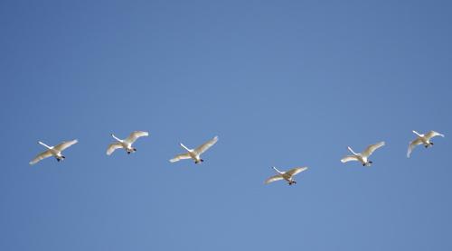 powrót z pól na Odrę #łabędzie #ptaki