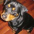 Roczna Kejsi szuka domu na już! www.rottka.pl #rottka #adopcje #rottweiler #SzukaDomu
