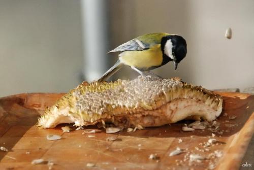 popędzają ... #przyroda #ptaki #sikory