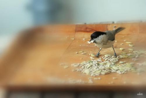 pazerne to takie ... #przyroda #ptaki #sikory