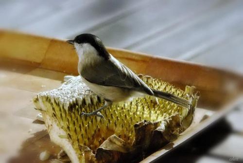#przyroda #ptaki #sikory
