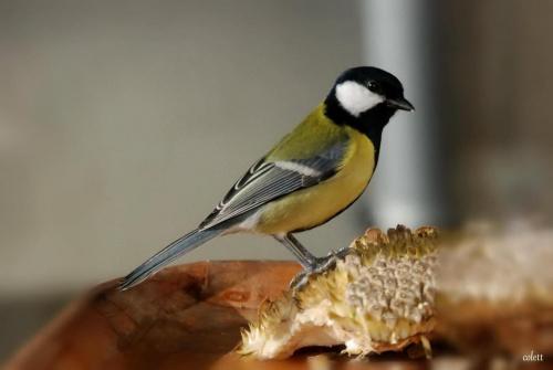 dlaczego mnie podglądasz? #przyroda #ptaki #sikory