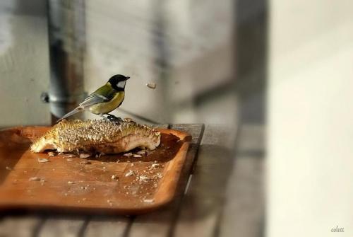 tak się spieszę ... kolejka! #przyroda #ptaki #sikory