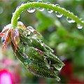 rano padał deszcz, a teraz jest tylko jeden na plusie ... #deszcz #jesień #kropelki #kwiaty #NaBalkonie #pelargonie