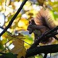 Cygaro...? #arietiss #fauna #jesień #wiewiórka