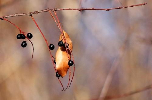 z wczorajszego spaceru (09.11.2011) #las #park #jesień #owoce #czeremcha